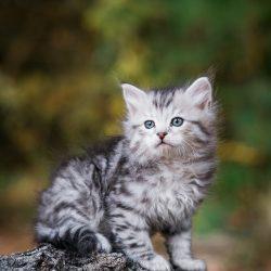 Figg & Prowle: Siberian kittens in New England. Silver male Siberian kitten